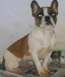 Total 12 cães plantel Spitz Alemão e bulldog francês