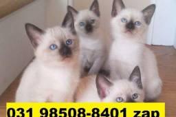 Gatil em BH Filhotes Belíssimos de gatos Siamês