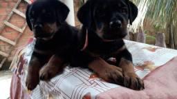 Filhotes de cão de guarda