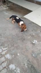 Vendo filhote ( macho) basset hound