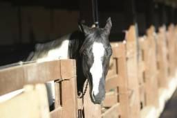 Vendo cavalo Garanhão Paint Horse, pelagem Zaino Tobiano, laçando cabeça