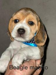 Beagle meigos a sua espera
