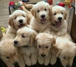 Filhotes lindos de Golden