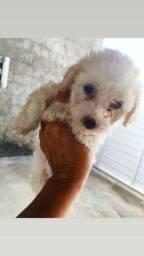 Filhote de poodle legítimo fêmea já vermifugada e vacinada.