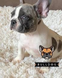 Bulldog francês Blue fêmea