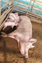 Filhotes de leitão
