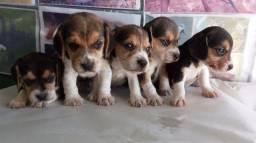 Vendo lindos filhotes de Beagle com garantia de saúde