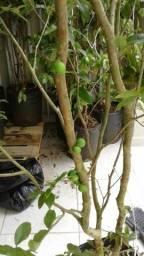 Viveiro plantas mudas frutas e nativas pouso alto sao lourenço entregamos