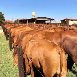 [~]]Senepol PO - Novilhas & Vacas Prenhas - R$ 10.000 cada em 12x no cheque