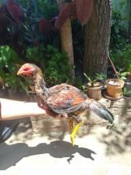 Galo e frangos finos a venda em Alvorada