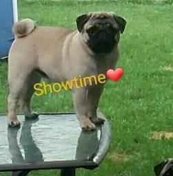 Pug para cruza - Showtime Suzano