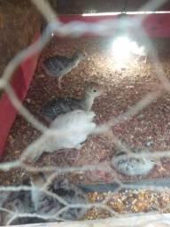 Título do anúncio: Vendo filhotes de Peru e Patos