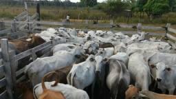 Vendo 5 novinha e 3 vaca nelore por. 12 mil