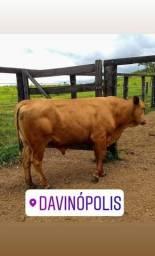 Vendas de Touros,Novilhas e Vacas Senepol PO