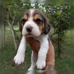 Maravilhosos bebês de beagle a pronta entrega