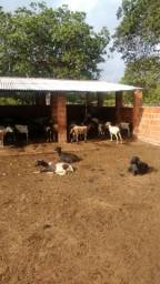 Carneiros, ovelhas e marrans