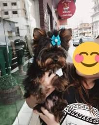 Filhote yorkshire terrier macho