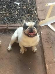 Bulldog francês disponível para cruza