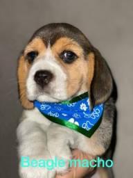 Beagle para suas crianças