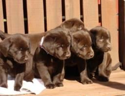 Labrador chocolates com olhos verdes (padrão inglês )