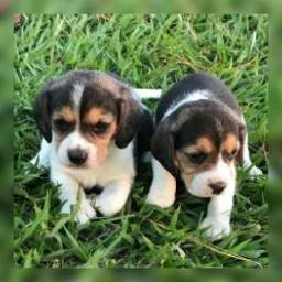 Beagle tricolor belissimos a pronta entrega