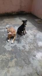 Uma mistuca bull terrier com pitbull