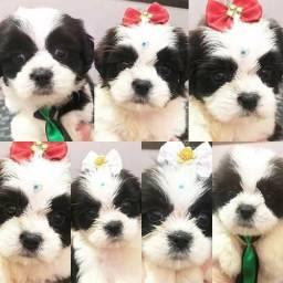 Lindos filhotes Lhasa Apso disponível para venda!!!