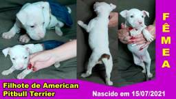 Título do anúncio: Filhotes de American Pitbull Terrier Puro