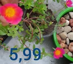 6 Galhas Flor Onze Horas Simples Rosa