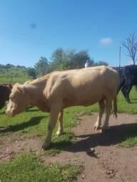 Vendo 2 vacas gordas
