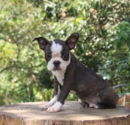 Boston terrier Macho Disponível