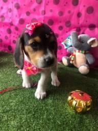 Compra já sua filhote fêmea Beagle