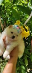 Lindos Lulus da Pomerania verdadeiros ursinhos