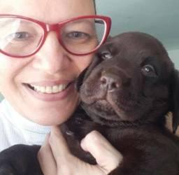 Filhote de Labrador chocolate com pedigree e pais com controle de displasia