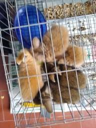 Filhotes de coelhinhos mini Lion