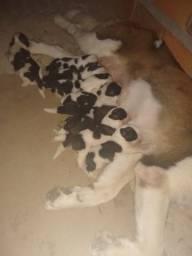 7 filhotes são bernado