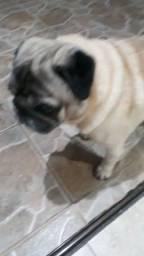 Pug Macho      500reais