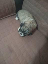 Vendo cachorro Shitzu