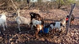 Cabras e cabritos