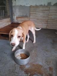 Doa-se Beagle Fêmea