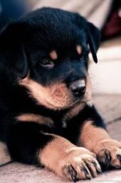 Rottweiler, Macho e fêmea, lindos filhotes disponíveis!