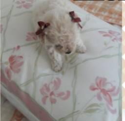 Vendo filhote poodle toy (casal) disponível para reserva