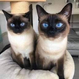 Quero comprar um gato filhote sianes