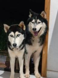 Husky siberiano disponível pra cruza
