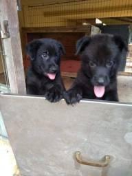 Vendo lindos filhotes de Pastor Belga Preto, dois Machinhos