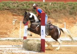 Cobertura - Fenômeno de Cavalo - mangalarga marchador - pampa - marcha picada natural