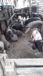 Vende-Se 15 porcos de qualidade.