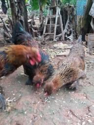 Vende se 2 frango e 1 franga de 5 mês