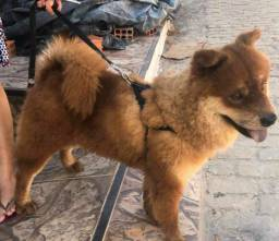 Vende Chow Chow