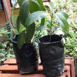 Plantas de Abricó